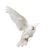 flying isolated white color pigeon