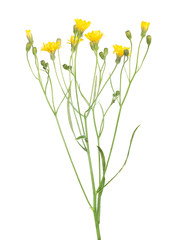 wild small yellow flowers isolated on white