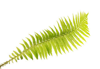 light green isolated fern frond