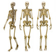 three human skeletons isolated on white