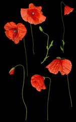 wild red poppy flowers set on black