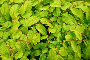 Hintergrund perfekte Blätter einer Buchenhecke im Frühling