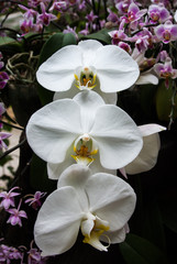 Beautiful white orchids in a garden.