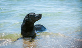Black Labrador fetching stick from the sea poster