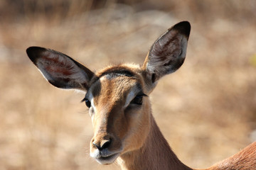 Closeup of impala