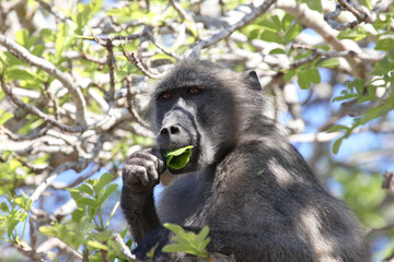 Baboon in tree eating