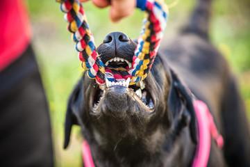 Dog pulling rope