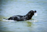 Black Labrador fetching plastic bottle from the sea poster