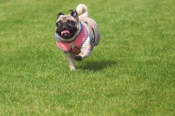 Running pug dog dirndl dress