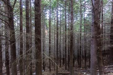Pine forest in Queenstown New Zealand