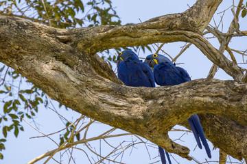Blue Macaw in Pantanal