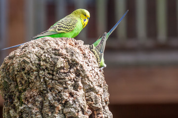 Budgerigar couple