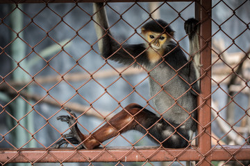 Leaf Monkey,Red-shanked Douc (Pygathrix nemaeus) in the cage