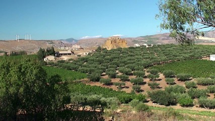 Agricultural plantation (olive & grape) in Sicily, Italy.