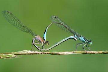 Ischnura elegans, mating