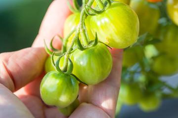 grüne Tomaten am Strauch