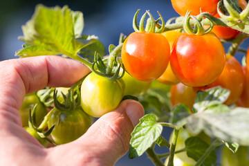 Tomaten vom Strauch pflücken
