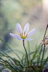 белый полевой цветок4