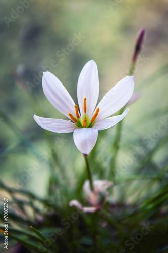 canvas print picture белый полевой цветок1