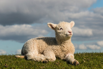 newborn lamb basking on grass