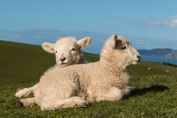 newborn lambs basking on grass