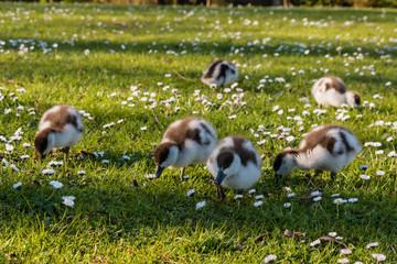 grazing paradise shelduck ducklings