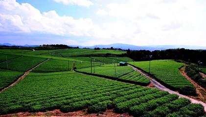 八女中央大茶園 茶畑