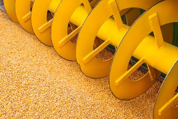 Corn crop harvester machine with fresh corn in front
