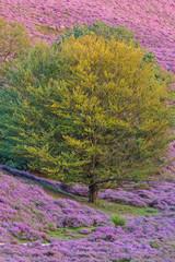 Blooming heath in Dutch national park Veluwe