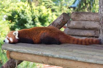 Red panda full shot