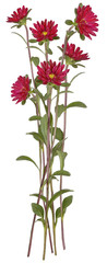 Drawing of Red Aster flower