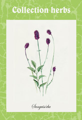 Burnet. Collection herb.