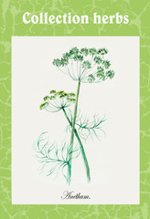Fennel. Collection herb.