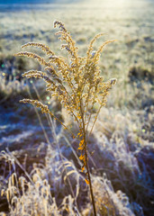 frozen plants in meadow in wintertime
