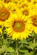 canvas print picture - Sonnenblumen