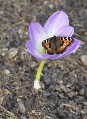 Цветок Безвременник или осенний крокус