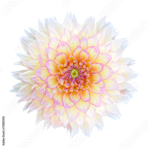 In de dag Dahlia White Chrysanthemum Flower with Purple Center Isolated