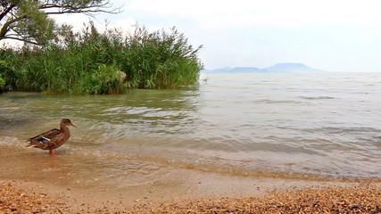Wild duck on the lake Balaton