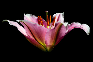 Lily flower with white-pink petals on a black background