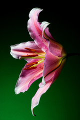 Lily flower with white-pink petals on a dark green background