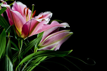 Bouquet of lilies with white-pink petals on a black background
