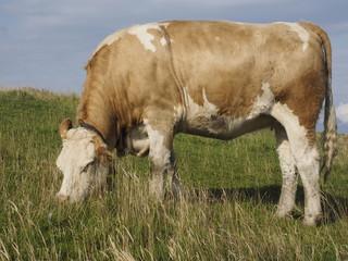 Vaca en la Alta Saboya (Francia)