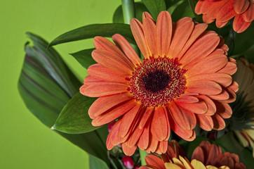 Orange gerbera flower on green background