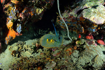 Blue-spotted sting ray (Taeniura lymma)