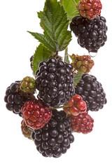 Branch blackberry on  white
