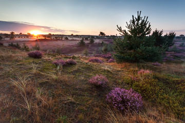 sunrise over meadows with flowering heather
