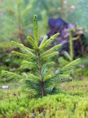 Junge Fichte - Aufforstung - Wald