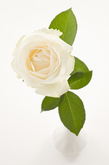 White rose flower over white