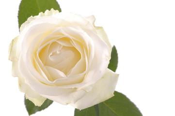 White rose flower over white