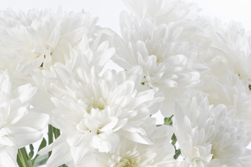 White fresh beautiful chrysanthemums close up